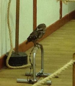 Little owl = cute but aggressive